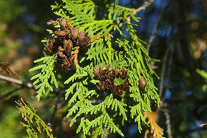 _0009_Thuja occidentalis